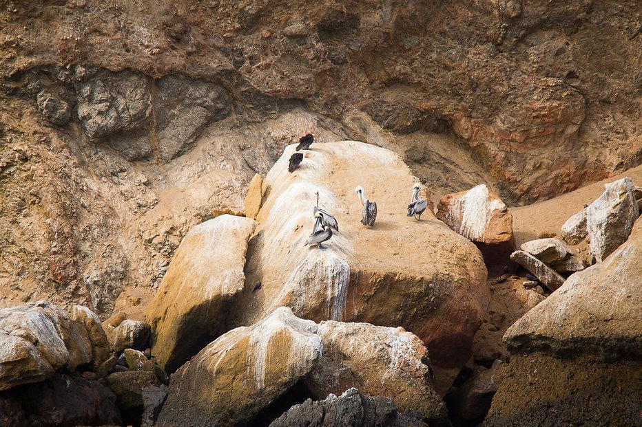 Pelícano peruano, Islas Ballestas