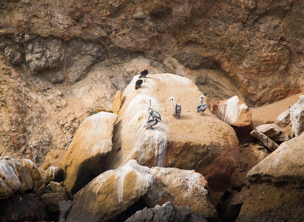 Pelicanos peruanos y Gallinazos, Islas Ballestas, Peru