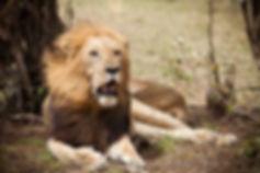 El gran Rey León, Masai Mara, Kenia
