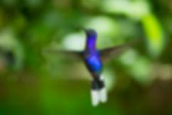 Colibrí, Costa Rica. Descubre Sin Limites