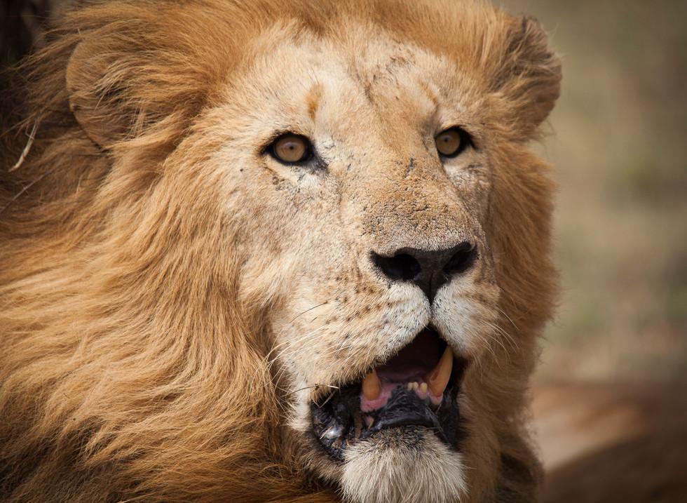 León, Reserva Masai. Mara Kenia