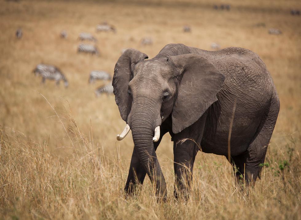 Elefante, Reserva Masai. Mara Kenia