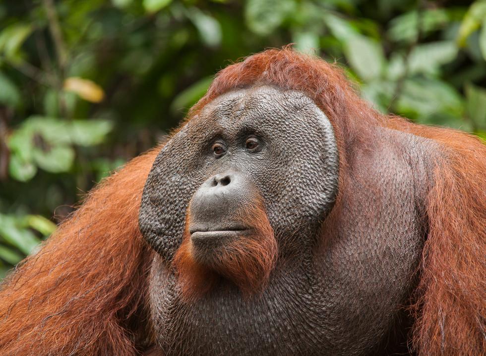 Orangutan, Parque Nacional Tanjung Puting. Borneo, Indonesia