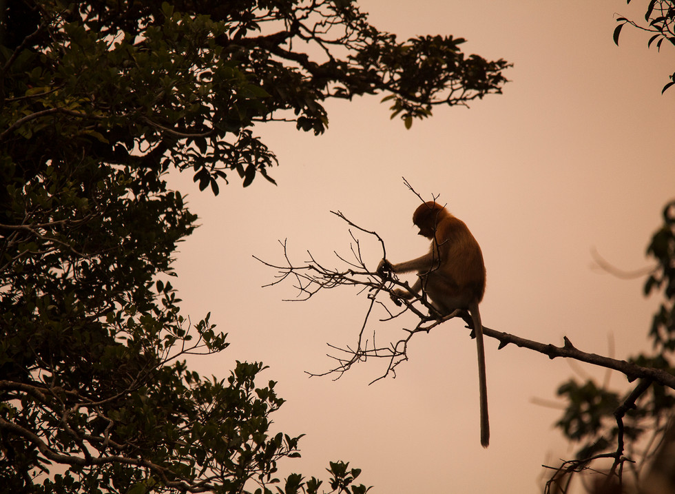 Mono Narigudo, Parque Nacional Tanjung Puting. Borneo, Indonesia