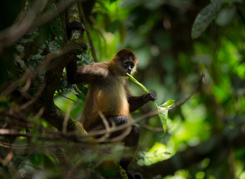 Mono araña, Tortuguero. Costa Rica