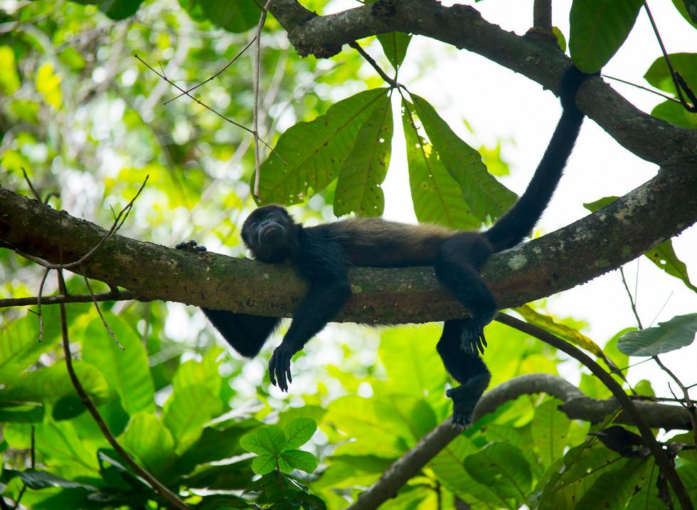 Mono aullador. Costa Rica