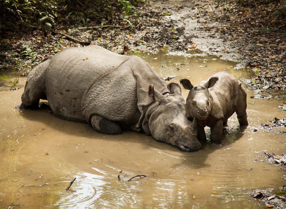 Rinoceronte Indio, Parque Nacional de Chitwan. Nepal