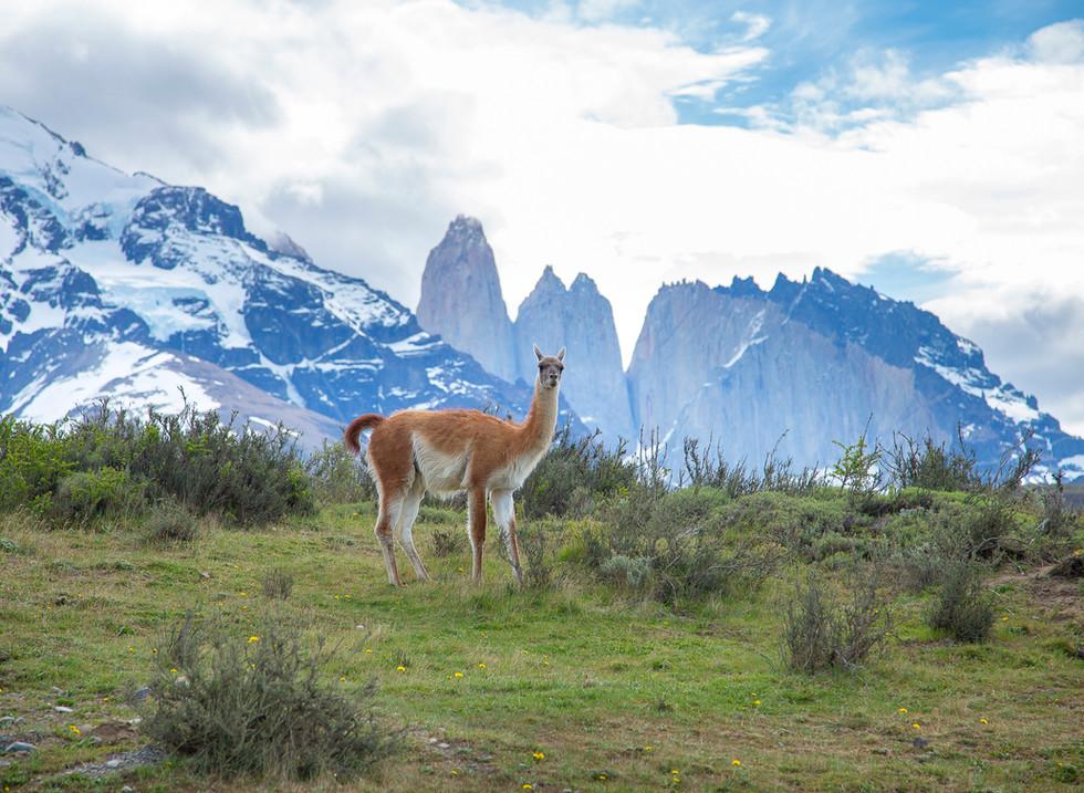 Guanaco, Parque Nacional Torres del Paine. Chile