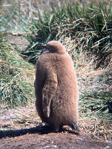 Parque Pingüino Rey, Chile