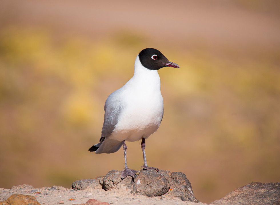 Gaviota andina, Lagunas altiplanicas. Atacama, Chile