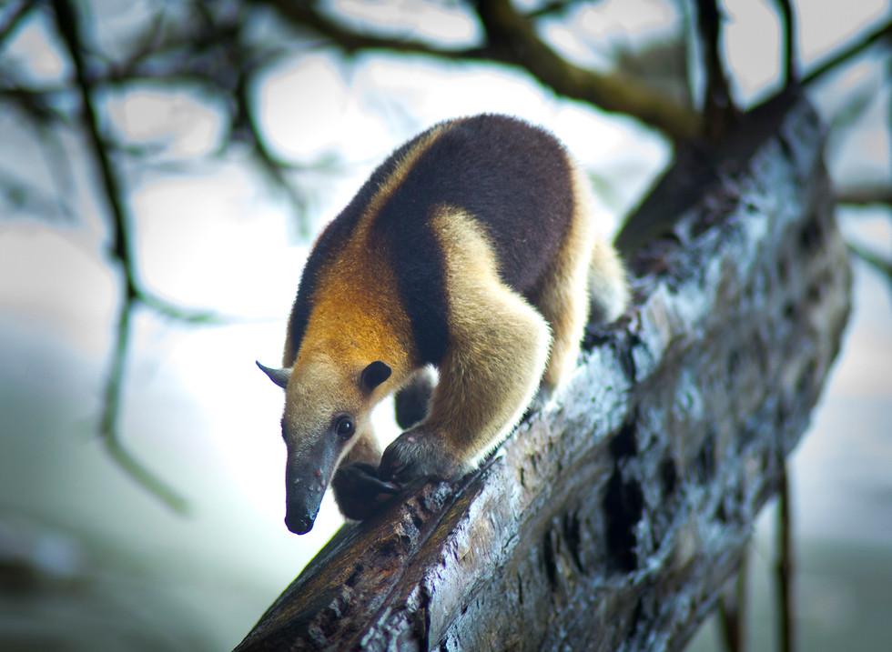 Oso Hormiguero, Parque Nacional Corcovado. Costa Rica