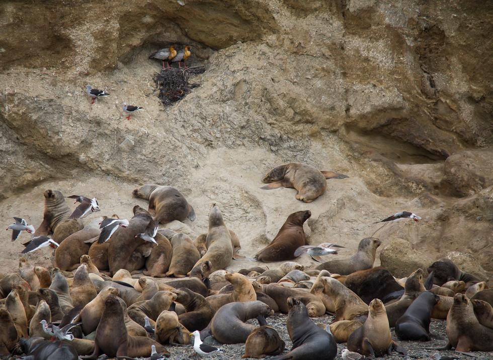 Lobos Marinos, Isla Marta. Estrecho de Magallanes. Chile
