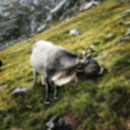 Grasende Kuh mit Hörnern und Glocke auf einer Alm