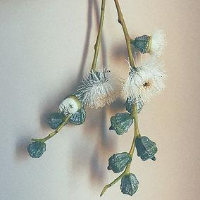 Eucalyptus seeds bloom