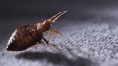 bedbugshd.jpg