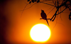 drongo_silhouette_edited