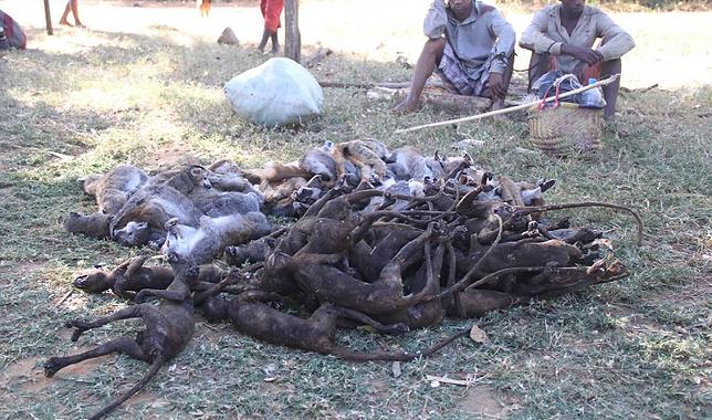 lemur-killed.png