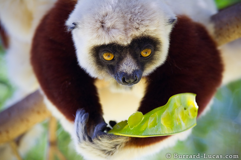 sifaka_eating