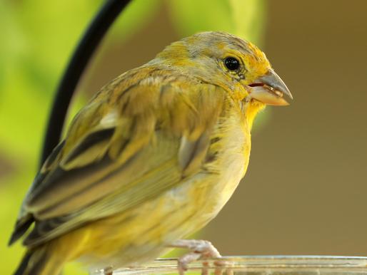 Um comércio ilícito no Brasil está enviando pequenos pássaros canoros para suas mortes, Yale E360