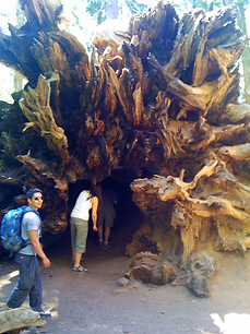 Yosemite Tuolumne Grove of Giant Sequoias Fallen Crawl Through Tunnel Tree by Land's End Tour Company - www.LandsEndTourCompany.com - Custom Private SUV Tours