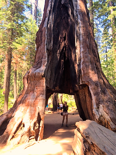 Pioneer Cabin Tunnel Tree at Calaveras Big Trees State Park by www.LandsEndTourCompany.com Private Giant Sequoia Tree Tours from San Francisco