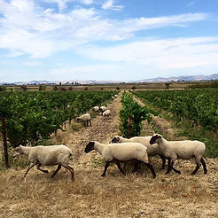 Sonoma Napa Carneros Winery Sheep in the Vineyard Mowing Lawn by Land's End Tour Company Custom Private SUV Tours