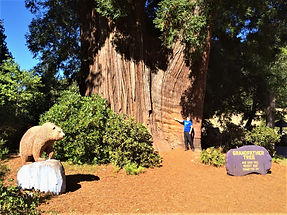 Giant costal redwood Grandfaher Tree near Avenue of the Giants. www.LandsEndTourCompany.com for custom private tours in Northern California from San Francisco.