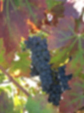 Fall Harvest Red Wine Grapes Leaves Changing Color Napa Sonoma Valley by Land's End Tour Company - Custom Private SUV Tours from San Francisco to Wine Country