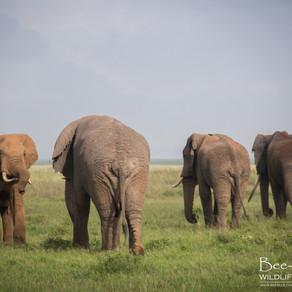 One shipment of 500 elephants to go, please