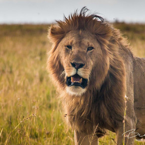 Cecil The Lion's Son Has Been Shot Dead, And All For Nothing