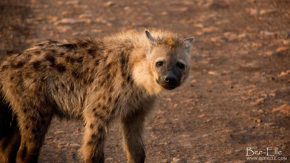 Bee-Elle - African Wildlife Photography - Hyena
