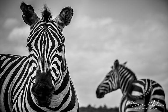 African Buffalo - African Wildlife Photography - Bee-Elle