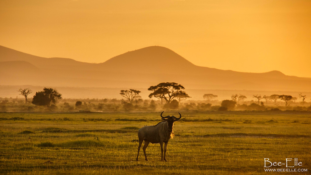 A wildebeest stands on the plains during sunset. Maasai Mara, Kenya