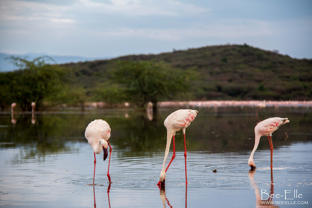 lesser flamingoes feeding