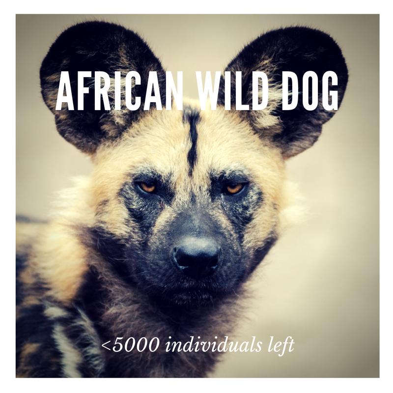 African Wild Dog - Bee-Elle - African Wildlife Conservation