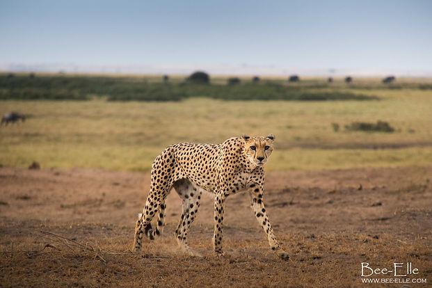 Cheetah at Amboseli