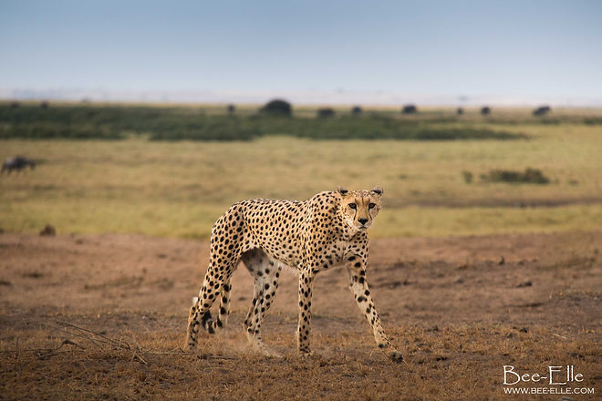 Portrait of a Cheetah by Bee-Elle