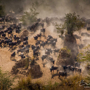 Why the Great Wildebeest Migration will stop, and sooner than we think