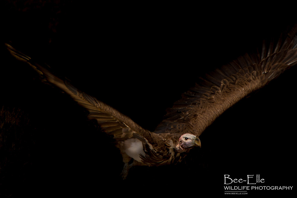 Bee-Elle - African Wildlife Photography - Vulture