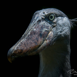 Beautiful Strange: The Shoebill Stork's Fragile Existence