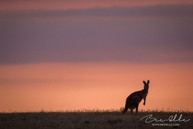 Kangaroo on the horizon during sunset