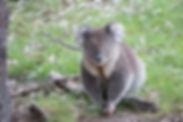 koala-victoria-australia