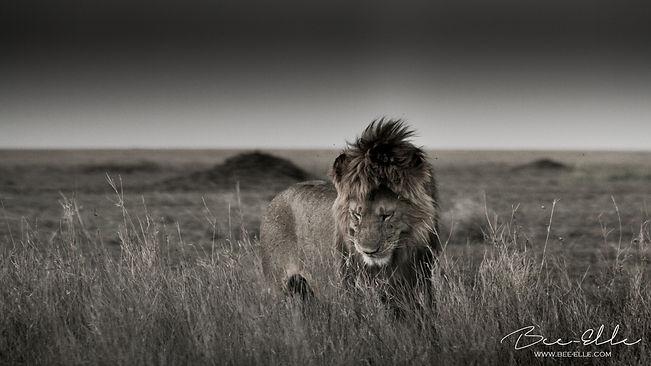 Lion - Dusk - Serengeti - Tanzania - Bee-Elle