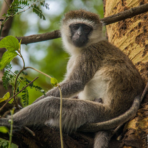 Vervet monkeys deserve a chance