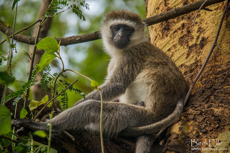 Vervet monkey resting on a branch at Lake Nakuru, Kenya