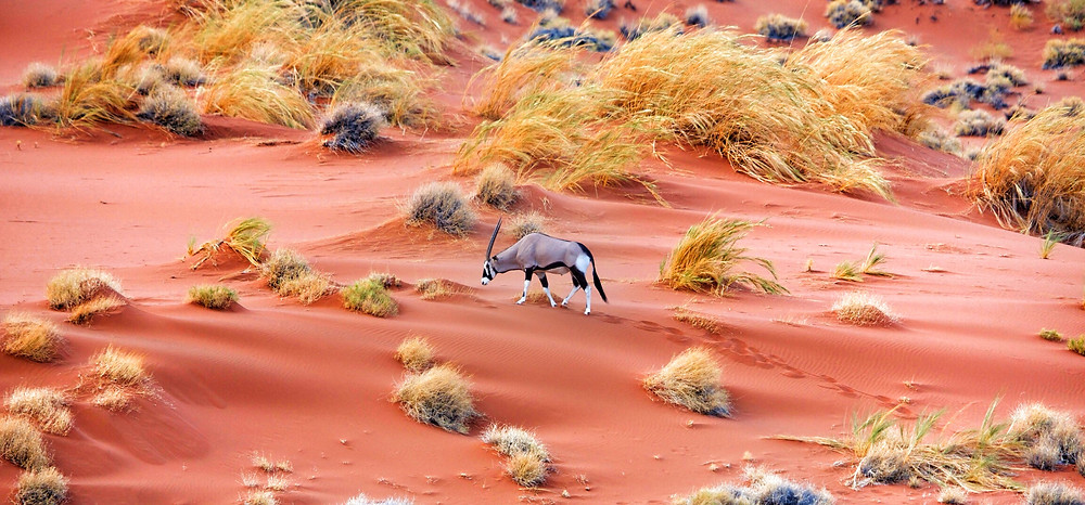 Oryx in the Dunes - Russell MacLaughlin