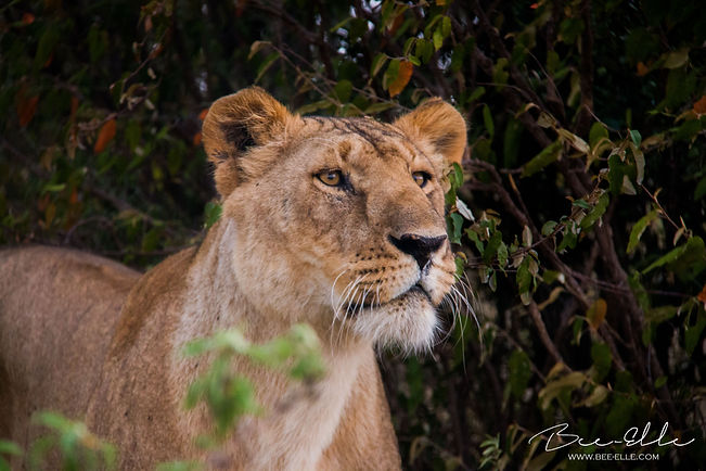 Lioness on a hunt - Maasai Mara - African WIldlife Photography - Bee-Elle