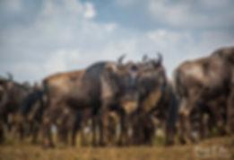 Wildebeest during the great migration, Maasai Mara, Kenya