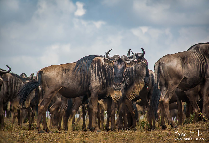 Wildebeest during the great migration, Maasai Mara, Kenya