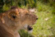 Lioness at the Maasai Mara, Kenya